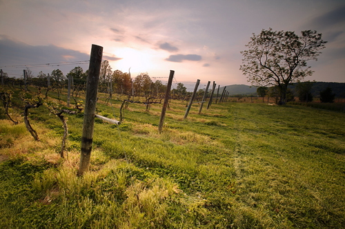 Gadino Cellars Vineyard